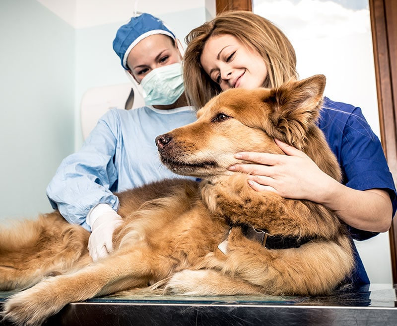 Dog is comforted while having a checkup