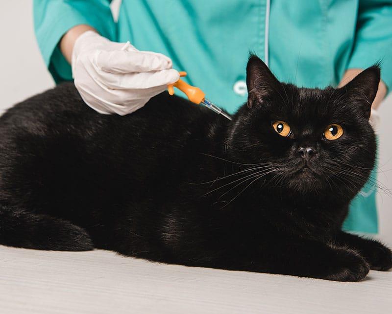 Female veterinarian microchipping a black cat