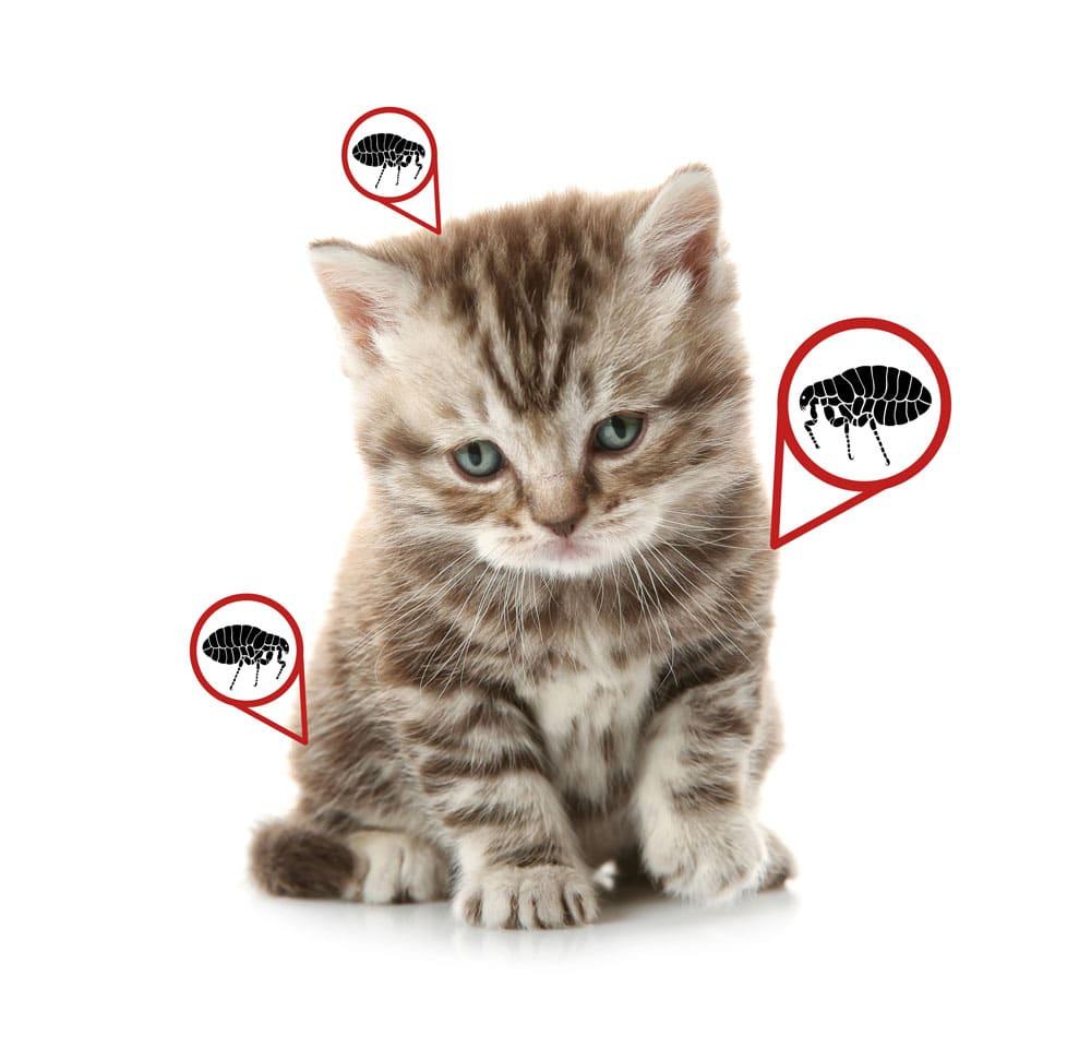 kitten that has fleas