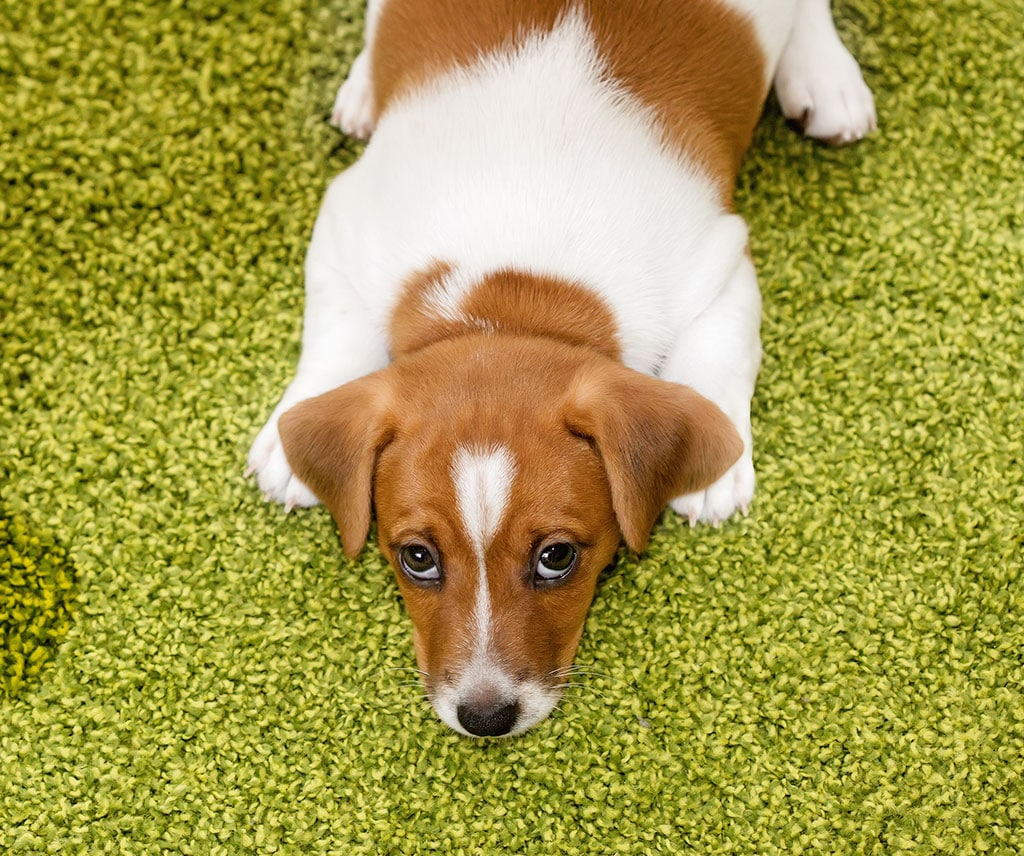 Puppy Jack Russell terrier lying on a carpet and looking weak