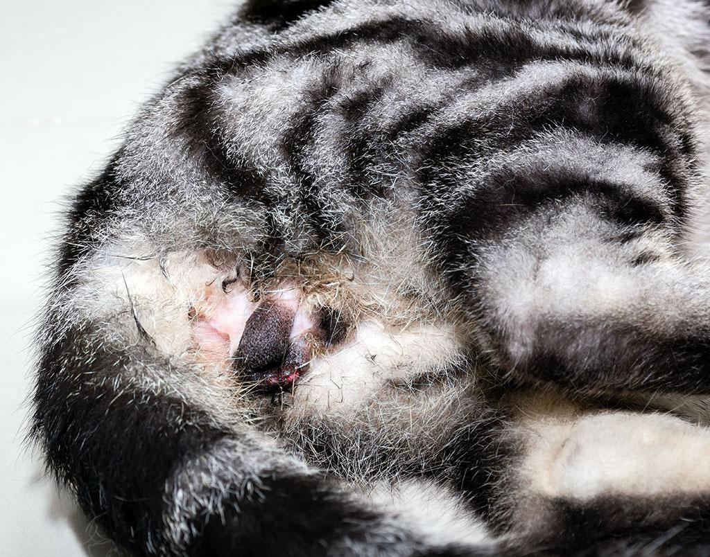 Neutering of American shorthair cat