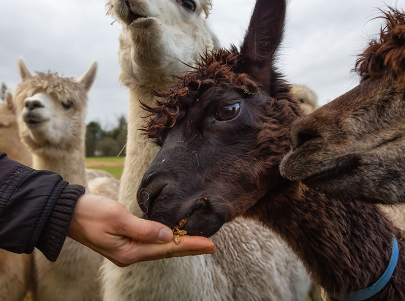 Girl feeding food from hand to an Alpaca in a farm during a cloudy day