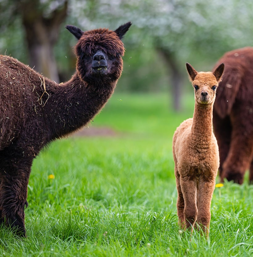 Alpacas with offspring, a South American mammal