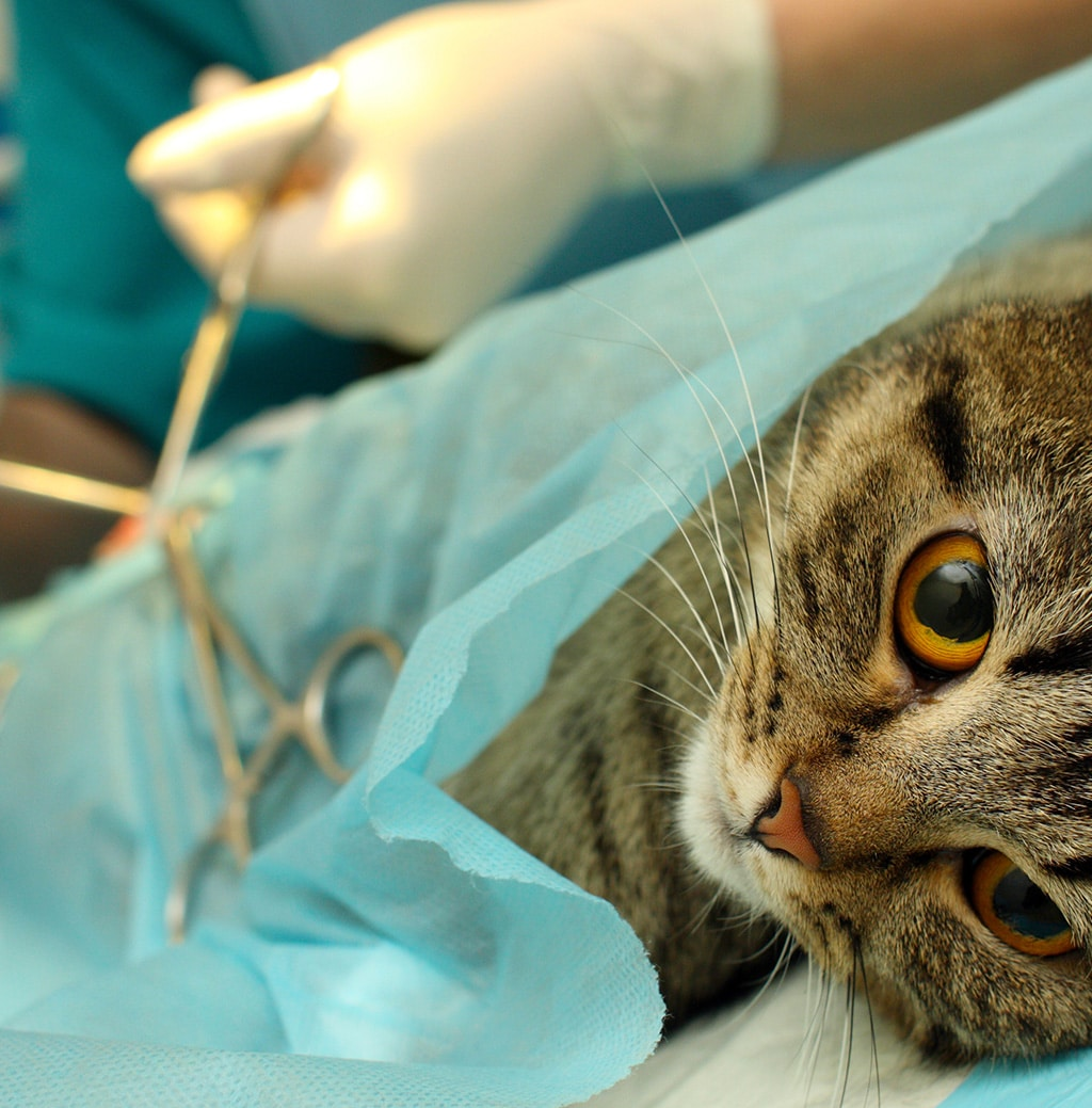 Professional performing surgery on cat