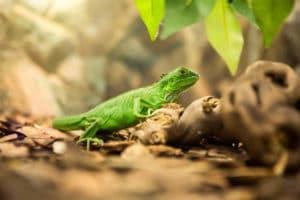 Vibrant Green Iguana