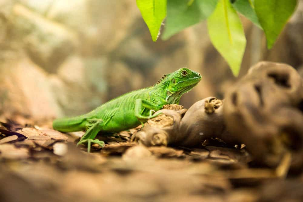 Vibrant green iguana in nature