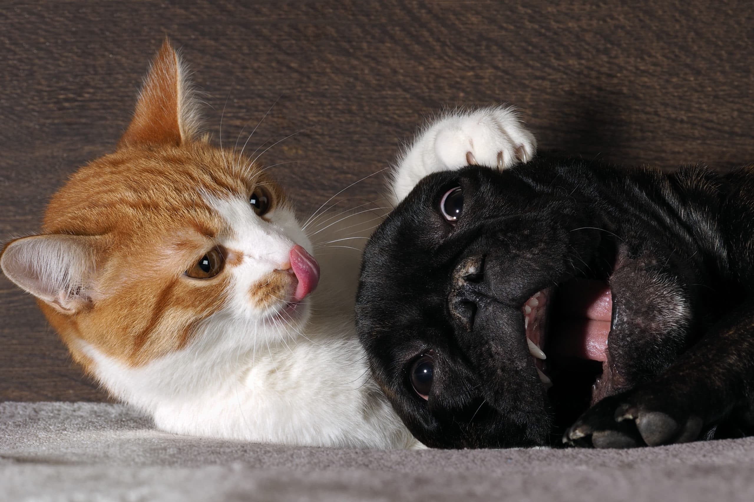 Small white-and-red cat and a huge black dog bulldog with a big mouth. Cat scratch dog claws, pink tongue. Dog scared.