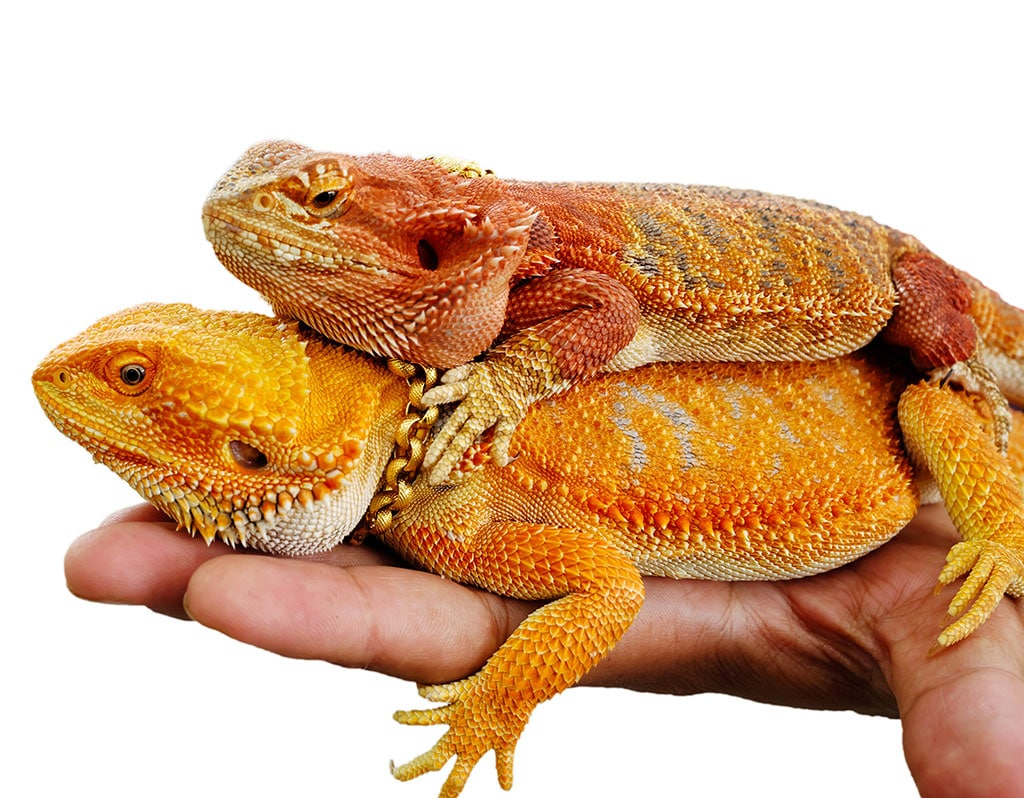 Two Bearded dragons on male hand