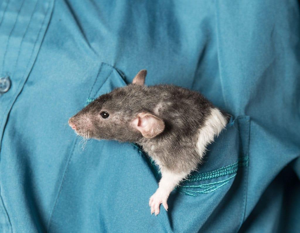 Rat in a pocket
