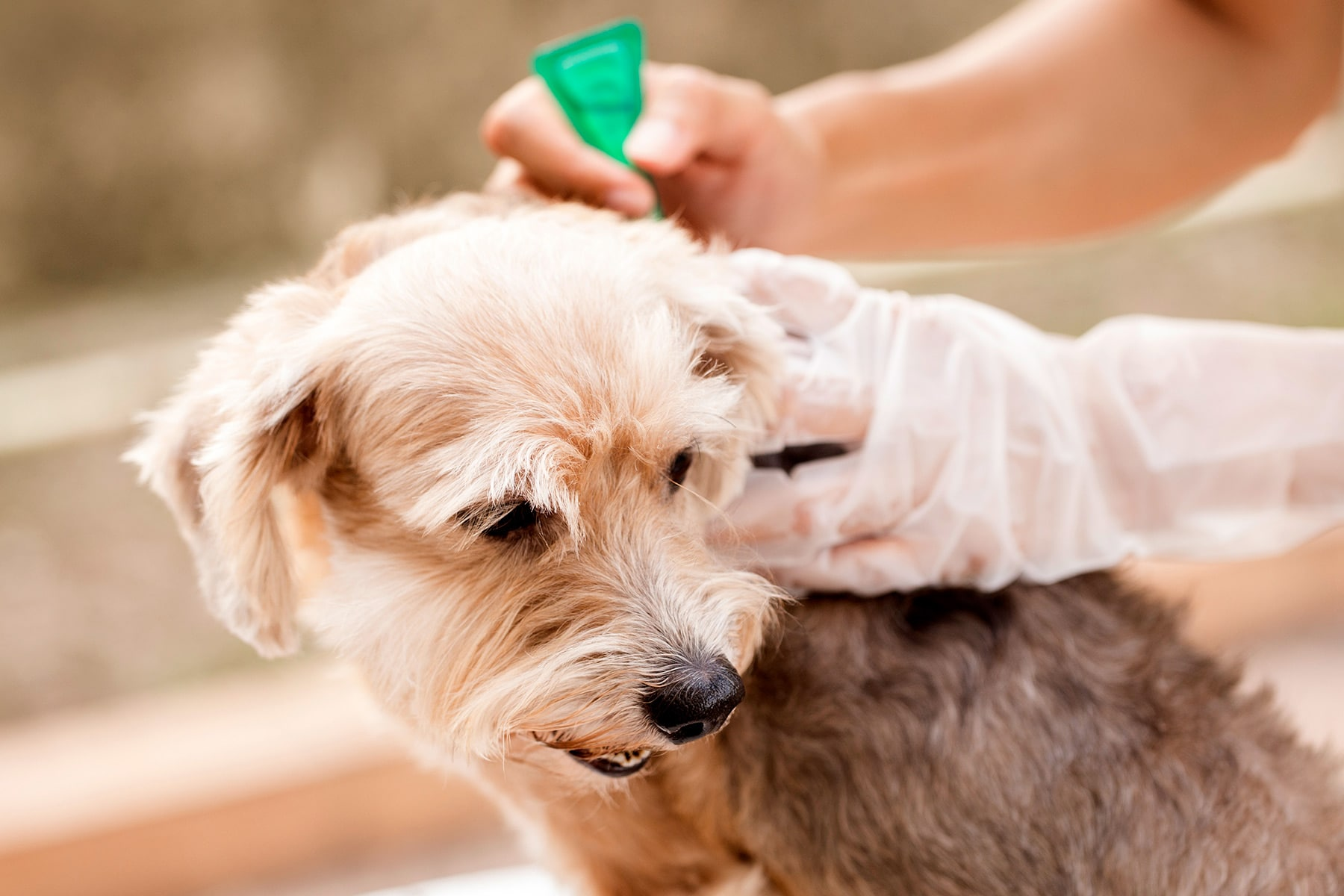 Flea Prevention for Dog