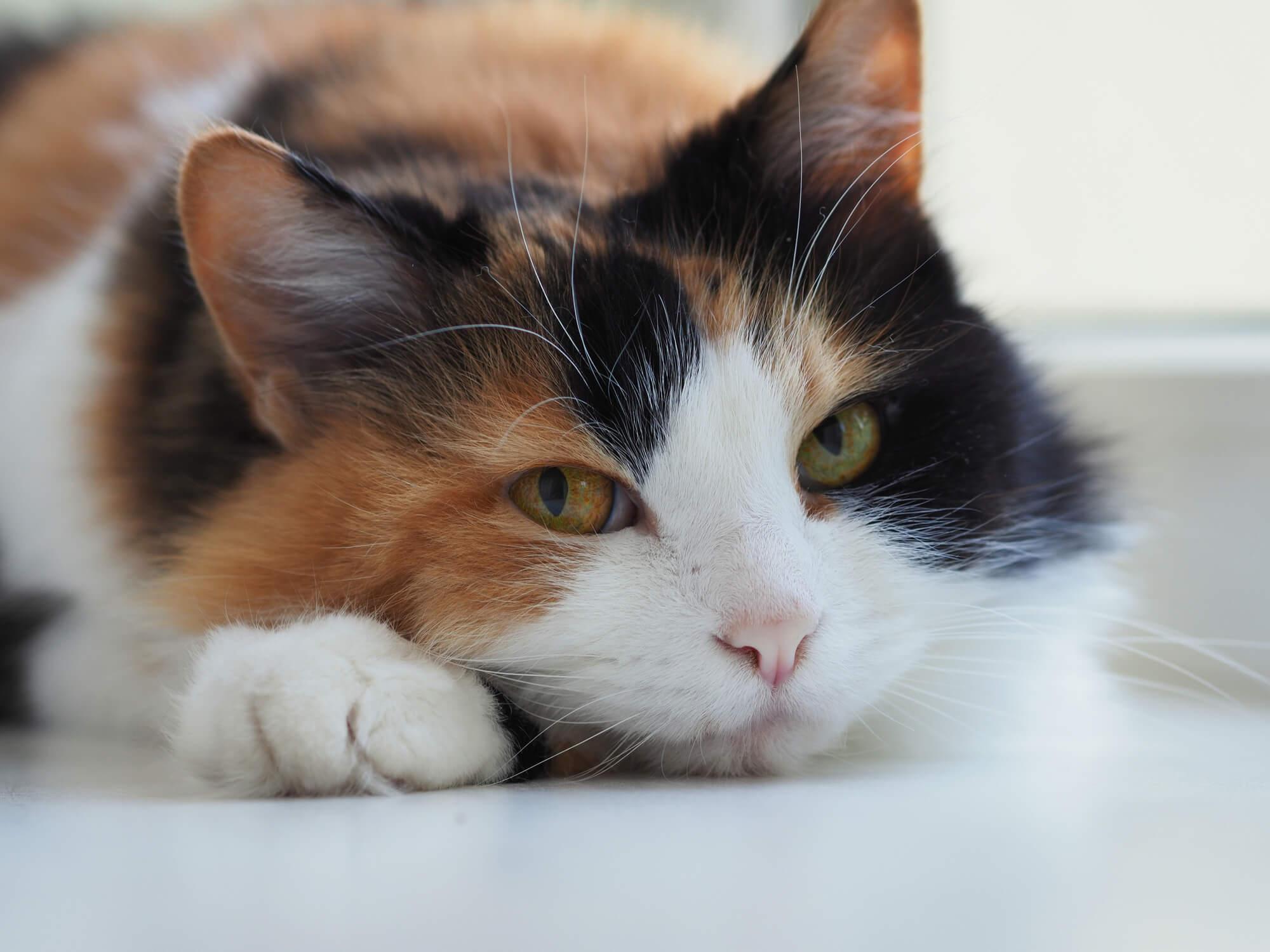 Cat Declaw 2