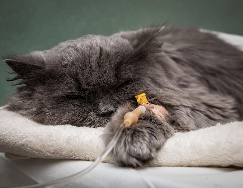 Sick cat under the dropper
