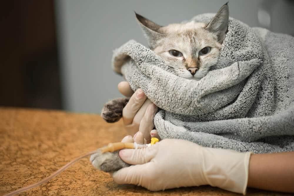 Veterinary placing a catheter