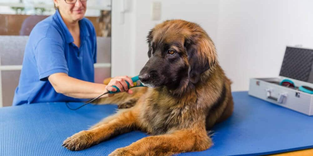 Dog Laser Therapy