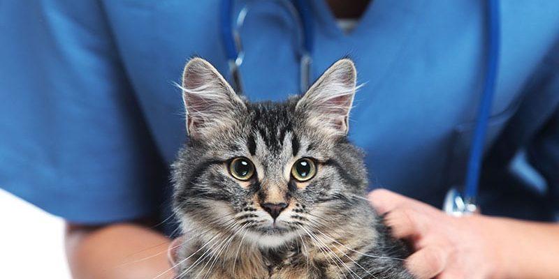 Doctor assessing cat