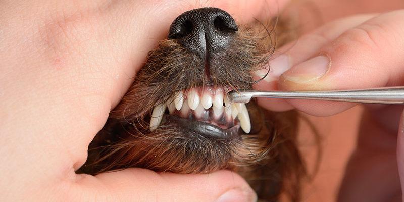 Removing tartar on dog's teeth